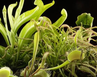 Fleischfressende Pflanzen Die Grunen Rauber Der Natur