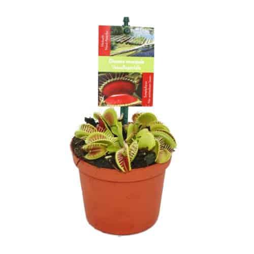 Venusfliegenfalle Dionaea Muscipula Fleischfressendepflanzen Pflegen